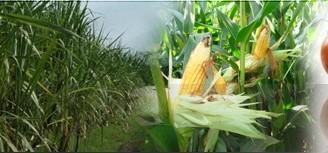 Comprar Semilla de maiz