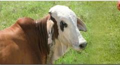 Antiviral medicamentos veterinarios  NORCALCIPHOS