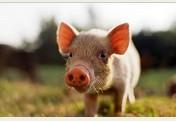 Alimento completo para cerdos
